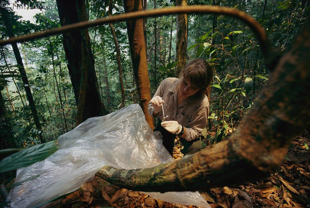 Orangutan researcher Cheryl Knott collects an orangutan urine sample from a plastic sheet placed beneath an orangutan nest.