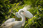 Two great egretd (Ardea alba) display in breeding plumage at Wakodahatchee wetlands, Florida.