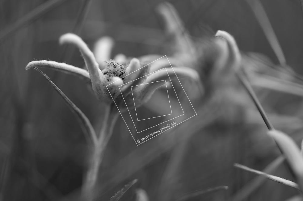 Nature, flower, edelweiss, Croatia, runolist, Hrvatska