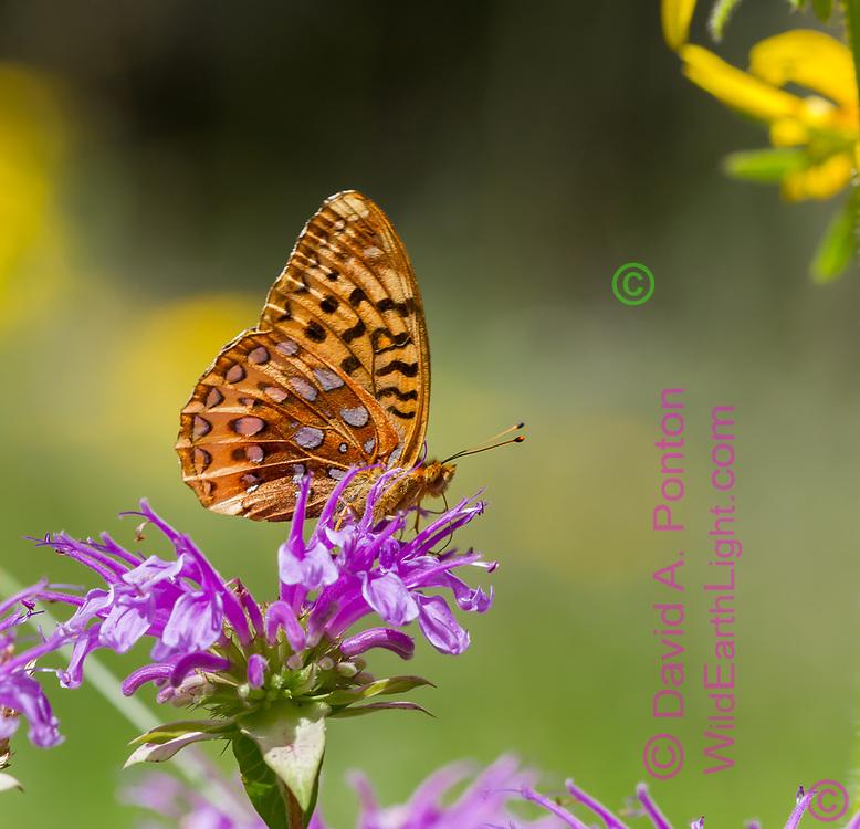 Fritillary butterfly feeding on horsemint flower, mountain meadow, Jemez Mountains, NM. © 2010 David A. Ponton