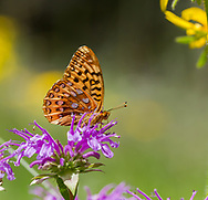 Fritillary butterfly feeding on horsemint flower, mountain meadow, Jemez Mountains, NM. © 2010 David A. Ponton