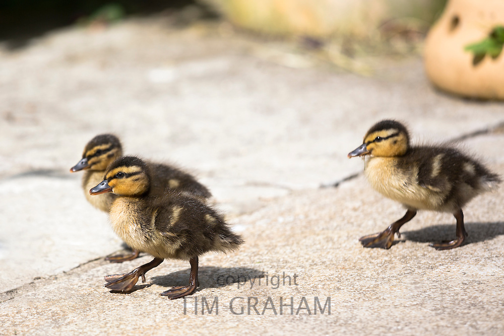Cute fluffy newly hatched Mallard ducklings, Anas platyrhynchos, in England