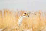 Barn owl flying in daylight, © 2013 David A. Ponton