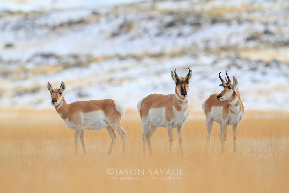 Pronghorn near the entrance to Yellowstone National Park.