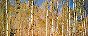 "Aspens in fall, Boulder Mountains, near Sun Valley Idaho. Also available as a triptych, up to 60 x 120""."