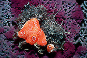 UNDERWATER MARINE LIFE CARIBBEAN, generic Encrusting sponge Callyspongia plicifera