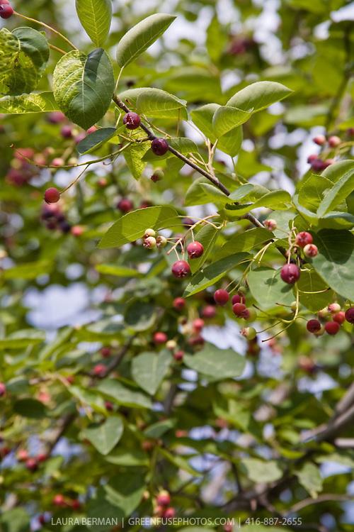 Serviceberry (Amelanchier) : Ripening berries