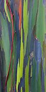 The painted bark of Rainbow Eucalyptus tree on Oahu, Hawaii