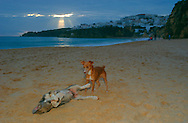PRT, Portugal: Streunender Hund, Haushund (Canis lupus familiaris), zwei Hunde spielen in der Abendsonne am Strand, Albufeira, Algarve | PRT, Portugal: Stray dog, domestic dog (Canis lupus familiaris), two dogs playing in the evening sun at the beach, Albufeira, Algarve |