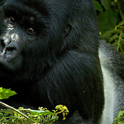 Mountain Gorilla (Gorilla beringei beringei) <br /> Virunga Volcanoes - Parc National des Volcans, Rwanda <br /> <br /> Despite Agashya&rsquo;s huge size, his posture is nonthreatening. This silverback from Group 13 in Rwanda is calm and relaxed as he stares intently into the camera lens.