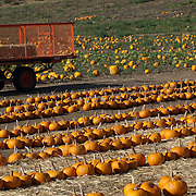 Tractor in Pumpkin field for halloween
