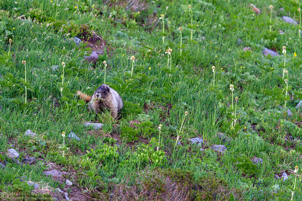 A Hoary Marmot (Marmota caligata) gathers nesting material and food in the Paradise area of Mount Rainier National Park in Washington State, USA