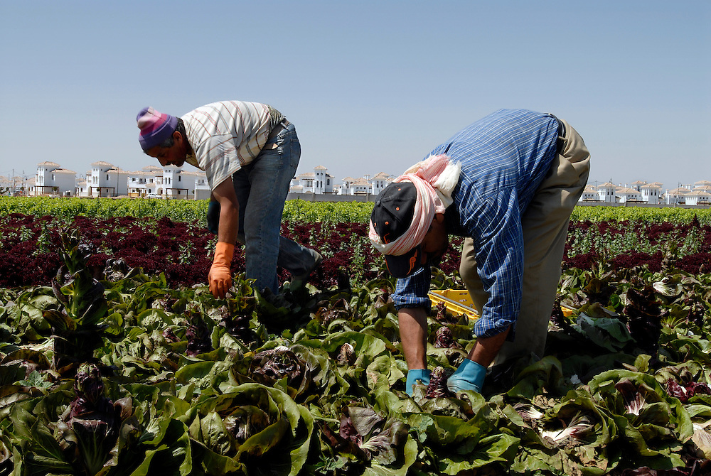 Spain. From a story on the explosion of controversial golf resorts in Spain's arid south-east. These walled developments are often built on former farming land when farmers sell their land to the big developers. Most of these new houses are sold to foreign buyers as holiday homes..Photo shows vegetable pickers from Morocco near the Polaris World La Torre Golf Resort which is under construction in Murcia, Spain..Photo©Steve Forrest/Amaya Roman