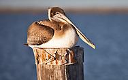 Brown pelican on Island Road leading to Isle de Jean Charles.
