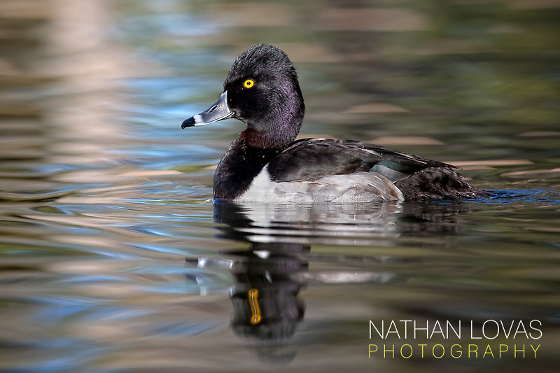 Ring-necked duck on water;  Arizona.