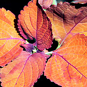 A colorful orange plant portending autumn. Leaming's Run Gardens, Cape May Courthouse, New Jersey, USA