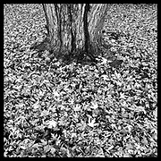 Maple tree and leaves