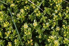Zeepostelein, Honckenya peploides