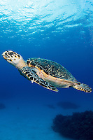 A Hawksbill Sea Turtle cruises carelessly above the reef<br /> <br /> Shot in Cayman Islands