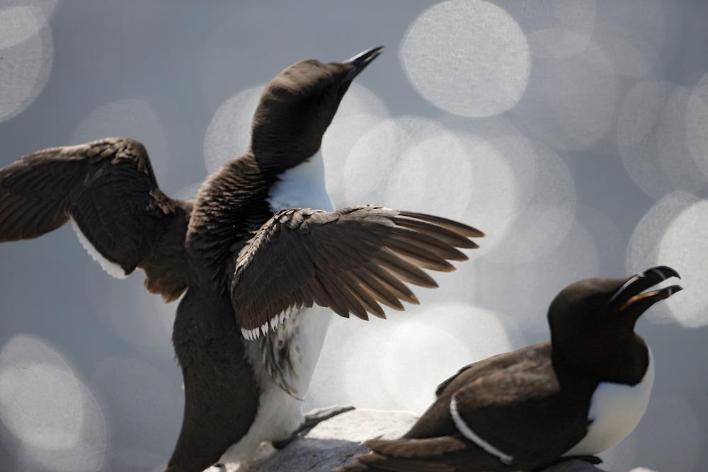 Guillemot (Uria lomvia) Saltee Islands, Ireland