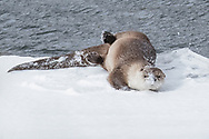 Constantly in motion, river otters are extremely playful and enjoy rolling and burrowing in the snow.