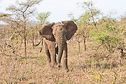 African elephant (Loxodonta africana). Photographed in Tanzania