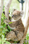 Female Koala (Phascolarctos cinereus) in an Eucalyptus tree