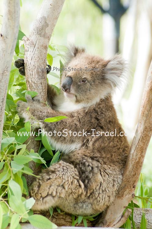 Female Koala (Phascolarctos cinereus) in an Eucalyptus tree