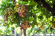 Ripe grapes on a vine in a vineyard Photographed in Kfar Tabor, Israel in July