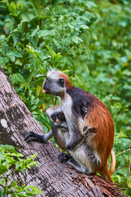 Tanzanie, archipel de Zanzibar, île de Unguja (Zanzibar), forêt de Jozani, colobe roux // Tanzania, Zanzibar island, Unguja, Jozani forest, red colobus or piliocolobus