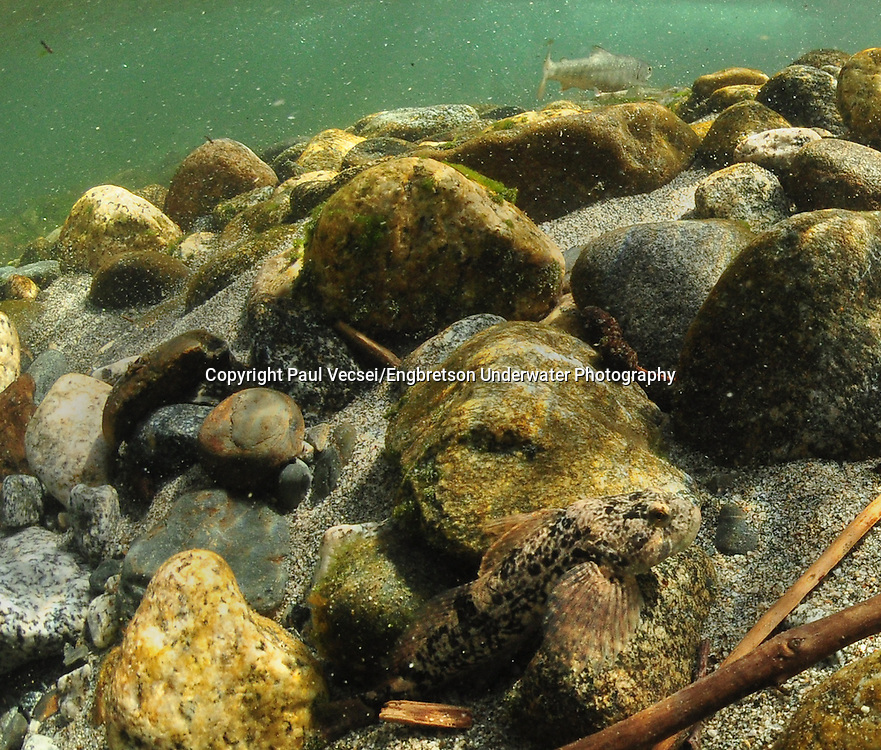 Coastrange Sculpin<br /> <br /> Paul Vecsei/Engbretson Underwater Photography