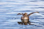 Pied Billed Grebe (Podilymbus podiceps) - Lake Murray, San Diego, CA