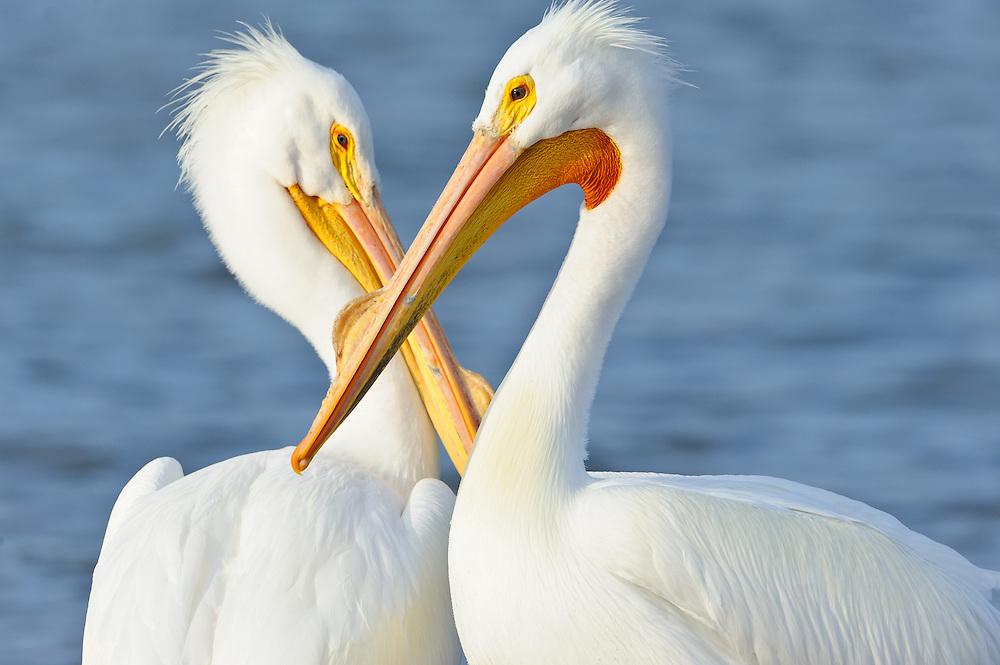 Two American white pelicans, White Rock Lake, Dallas, Texas