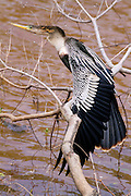 Female Anhinga Perched over water that has turned reddish-brown because of minerals in the rocks in the water.<br /> -South Carolina U.S.A