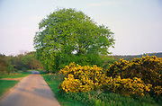 ADFWPC Beech tree and gorse bush by small country road Butley Suffolk England