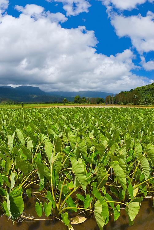 Taro fields in Hanalei Valley, North Shore, Island of Kauai, Hawaii