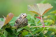 Fledgling red-winged blackbird (Agelaius phoeniceus)