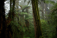 Giant tree fern forest growing on the highest reaches of the Foja Mountains, between 2150 and 2200 m elevation.