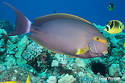 yellowfin surgeonfish, purple surgeonfish, or pualu, Acanthurus xanthopterus, with racoon butterflyfish in background, off Crescent Beach, Honokohau, Kona Coast, Hawaii Island ( the Big Island ), Hawaiian Islands, USA ( Central Pacific Ocean )