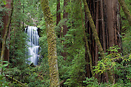 Berry Creek Falls can be seen through the lush redwood forest, Big Basin Redwoods State Park