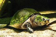 Giant river turtle from the Nationa Aquarium in Baltimore, MD. Photo by PointShoot Photography.