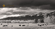 Longhorn cow calf pasture in spring in Whitefish, Montana, USA