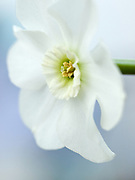 Narcissus 'Green Pearl' - small-cupped daffodil