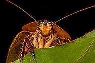 Peppered Cockroach (Archimandrita tesselata)<br /> BELIZE: Cayo District <br /> Ian Anderson's Caves Branch Lodge near Armenia<br /> 8-Aug-2015<br /> J.C. Abbott & K.K. Abbott