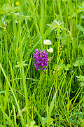 Wild Marsh Orchid, Dactylorhiza incarnata,  among wild grasses in Yorkshire Dales at Smardale Gill, England