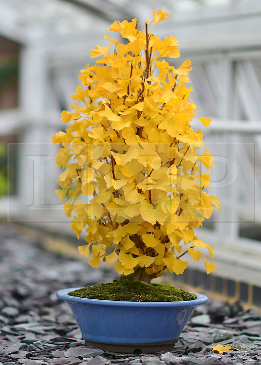 © Licensed to London News Pictures. 21/10/2012. Kew, UK A Maidenhair tree turns a stunning yellow. The tree is a unique species with no close relatives.  It has been described as a 'living fossil' as it is the sole survivor of a group of trees older than dinosaurs . This specimen was recently imported from Japan. . Autumn leaves on Bonsai trees in Kew Gardens in Surrey today 21 October 2012. Photo credit : Stephen Simpson/LNP