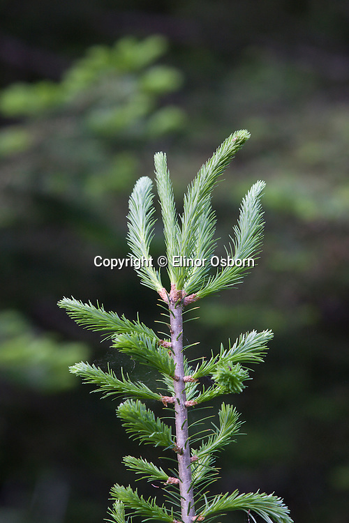 leader growth on balsam fir