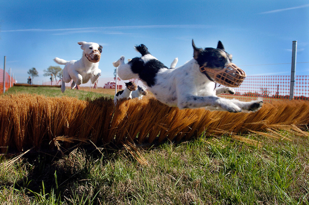 PASCO-DADE CITY,FL.-- Jack Russell terriers leap over obstacles during a race at the Little Everglades Ranch Wednesday morning. The Jack Russell terrier races in one of many events taking place Sunday at the Little Everglades Steeplechase. (staff/scott iskowitz)