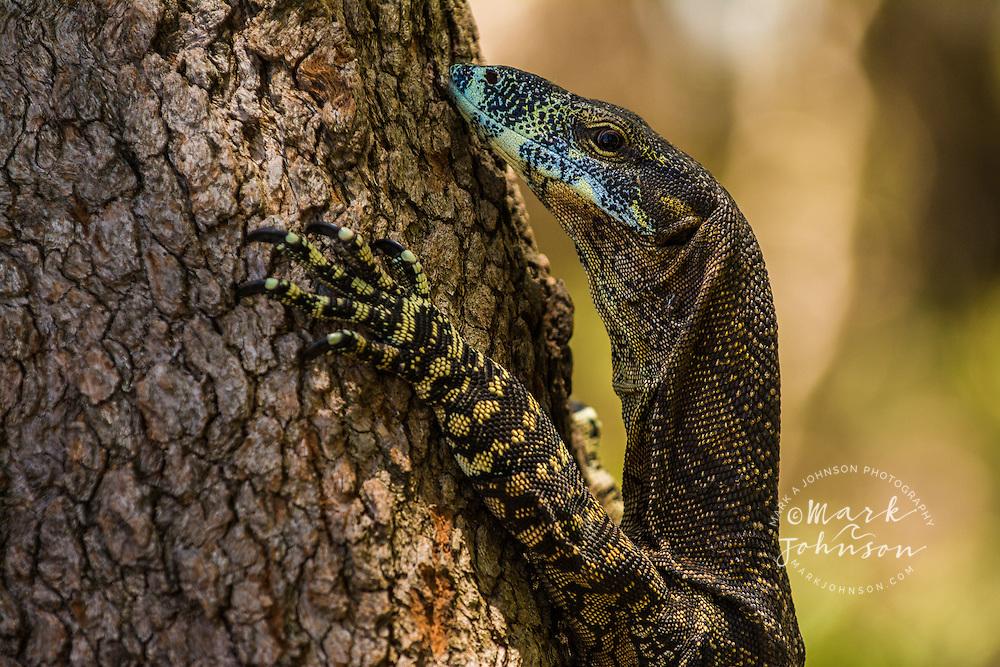 Goanna climbing a tree, North Stradbroke Island, Queensland, Australia