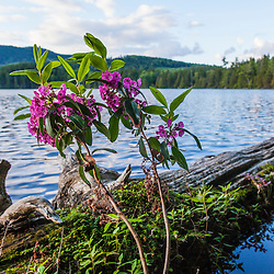 Sheep laurel, Kalmia angustifolia, on the shoreline of Lang Pond in Maine's Northern Forest. Cold Stream watershed, Parlin Pond Township.